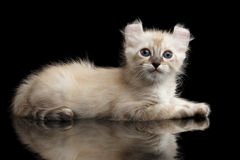 Cute American Curl Kitten with Twisted Ears Black Background. Furry Beige American Curl Kitten with Twisted Ears Lying on Black Background with Reflection, Side stock photography