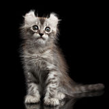 Cute American Curl Kitten with Twisted Ears  Black Background Stock Photo