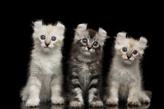 Cute American Curl Kitten with Twisted Ears Black Background. Three Fluffy American Curl Kittens with Twisted Ears Sitting on Black Background with reflection royalty free stock photo