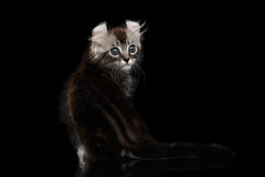 Cute American Curl Kitten with Twisted Ears Isolated Black Background. Adorable American Curl Kitten with Twisted Ears Sitting on Mirror and Looking Back royalty free stock images