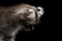 Cute American Curl Kitten with Twisted Ears Isolated Black Background. Closeup American Curl Kitten with Twisted Ears and Blue eyes Looking Down Isolated Black royalty free stock photos