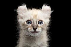 Cute American Curl Kitten with Twisted Ears Isolated Black Background Stock Images