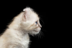 Cute American Curl Kitten with Twisted Ears Isolated Black Background. Closeup American Curl White Kitten with Twisted Ears and Blue eyes Looking Curious royalty free stock images