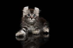 Cute American Curl Kitten with Twisted Ears Isolated Black Background Royalty Free Stock Photos