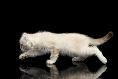 Cute American Curl Kitten with Twisted Ears Isolated Black Background. Playful American Curl White Kitten with Twisted Ears Running on Mirror Isolated Black stock photo