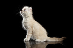 Cute American Curl Kitten with Twisted Ears Isolated Black Background. Playful American Curl White Kitten with Twisted Ears Sitting on Mirror and Looking up royalty free stock images