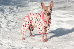 Cute american hairless terrier in beautiful suit is standing on a white snow. Pet animals. Royalty Free Stock Photo