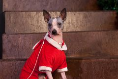 Cute american hairless terrier is sitting on staircase in a new year`s eve dress. Pet animals. Traditional holidays royalty free stock image