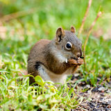 Cute American Red Squirrel feeding sunflower seed Royalty Free Stock Photography