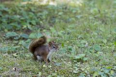 Cute American red squirrel sitting on lawn in profile royalty free stock images
