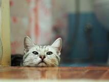 Cute american short hair breed young kitten cat grey and white stripes. Relaxing lazy on stepping floor making innocent face portrait headshot selective focus royalty free stock photography