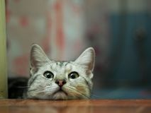 Cute american short hair breed young kitten cat grey and white stripes. Relaxing lazy on stepping floor making innocent face portrait headshot selective focus royalty free stock photos