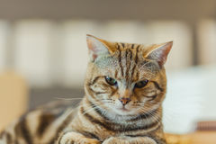 Cute American shorthair cat Royalty Free Stock Photo