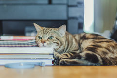 Cute American shorthair cat Stock Image