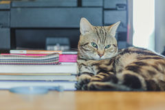 Cute American shorthair cat Stock Photography