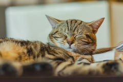 Cute American shorthair cat Royalty Free Stock Photography