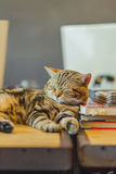 Cute American shorthair cat Royalty Free Stock Image