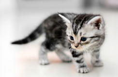 Cute American shorthair cat kitten Royalty Free Stock Photo