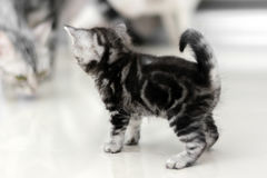 Cute American shorthair cat kitten Stock Photography