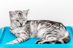 Cute American shorthair cat kitten Royalty Free Stock Photography