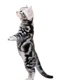 Cute American shorthair cat kitten Royalty Free Stock Images
