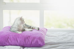 Cute American Shorthair cat lying on pillow. And looking out the window Royalty Free Stock Image