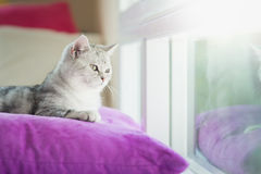 Cute American Shorthair cat lying on pillow and looking. Out the window Stock Photo