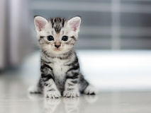 Cute American shorthair kitten Stock Images