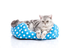 Cute American Shorthair kitten lying in cat bed. On white back ground isolared royalty free stock images
