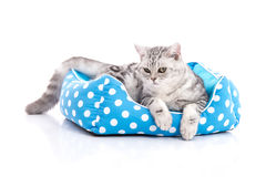 Cute American Shorthair kitten lying in cat bed. On white back ground isolared stock photo