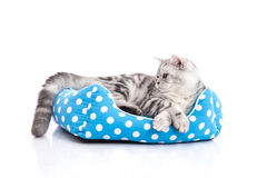 Cute American Shorthair kitten lying in cat bed. On white back ground isolared stock images