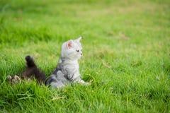 Cute American Shorthair kitten lying Stock Images