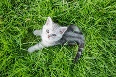Cute American Shorthair kitten lying. And looking up on green grass royalty free stock photography