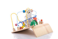 Cute american shorthair kitten playing wooden toy. On white background isolated stock images