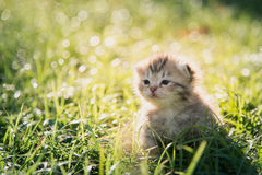 Cute American Shorthair kitten walking on green grass. Under sunlight stock images