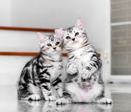 Cute American shorthair kitten were discussion. Focused on stand Stock Photo