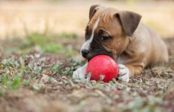 Cute American Staffordshire Terrier Puppy. Playing with ball stock images