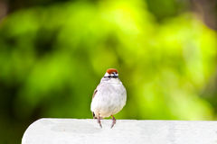 Cute American Chipping Sparrow Stock Photo