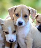 Cute amstaff puppies Stock Photography
