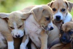 Cute amstaff puppies Stock Photos