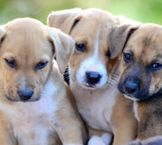 Cute amstaff puppies Stock Images