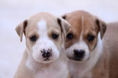Cute amstaff puppies Royalty Free Stock Photography