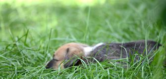 Cute amstaff puppy lying on a grass Royalty Free Stock Photo