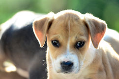 Cute amstaff puppy in the morning Stock Image