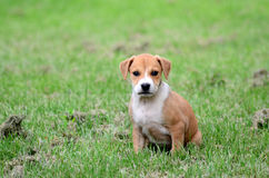 Cute amstaff puppy Stock Images