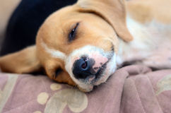 Cute amstaff puppy Royalty Free Stock Photography