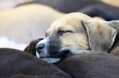 Cute amstaff puppy Royalty Free Stock Photos