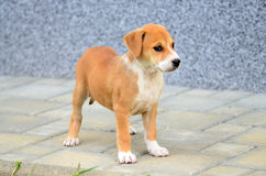 Cute amstaff puppy Royalty Free Stock Images