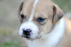 Cute amstaff puppy Royalty Free Stock Image