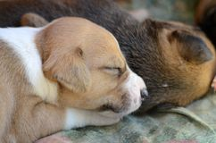 Cute amstaff puppy Stock Photography